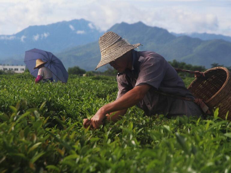 Hainan: tea vs coffee
